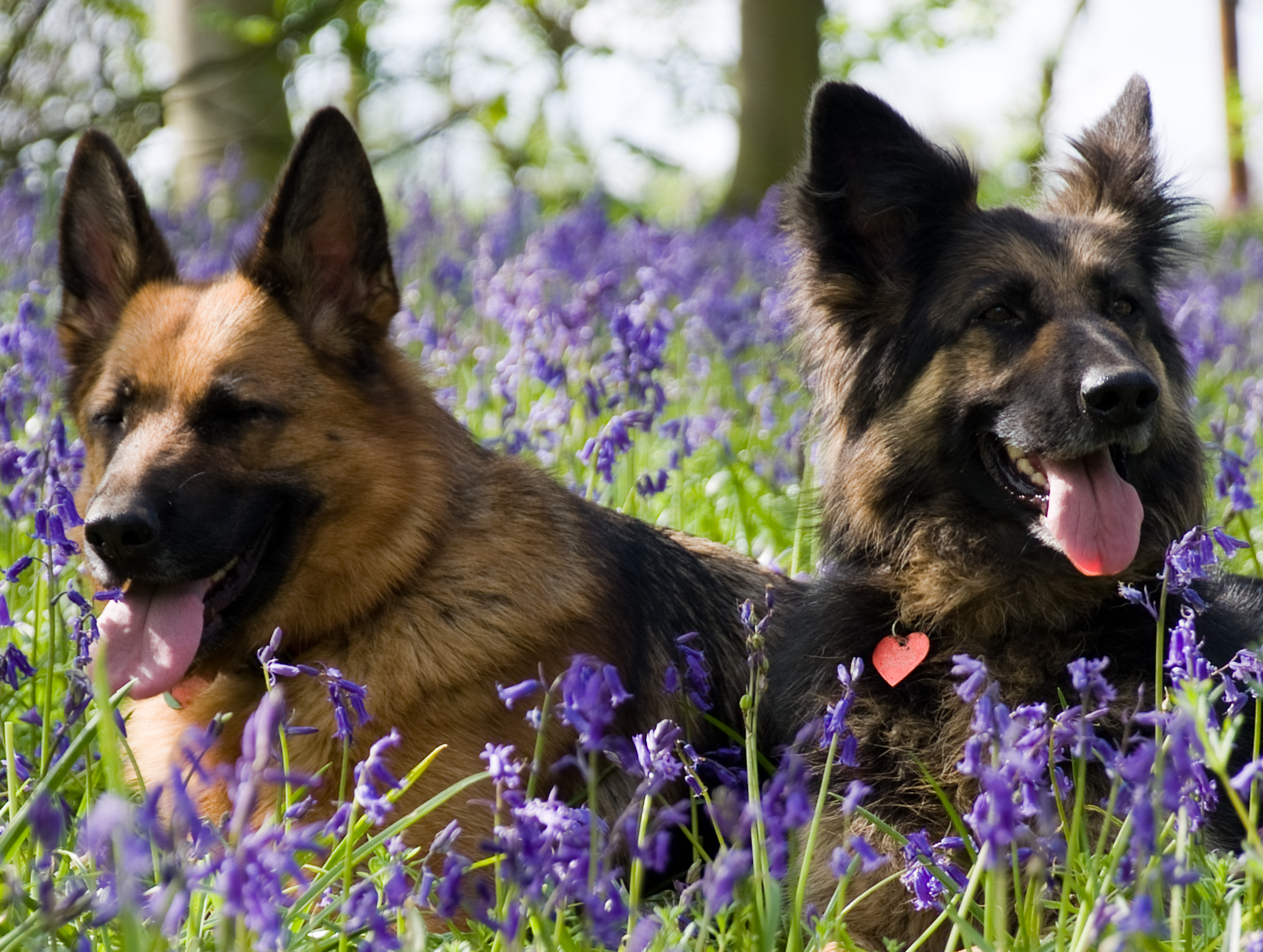 Bailey and guinness in Bluebells 5